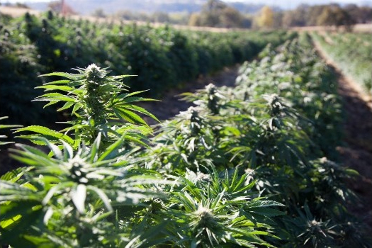 Is there any thing that you have to know before buying hemp flower.